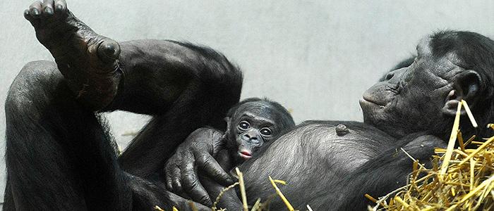 El rastro de los bonobos